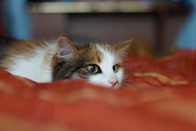 A fluffy spotted domestic cat with green eyes is lying on an orange blanket. the cat playfully looks away. dilated pupils.