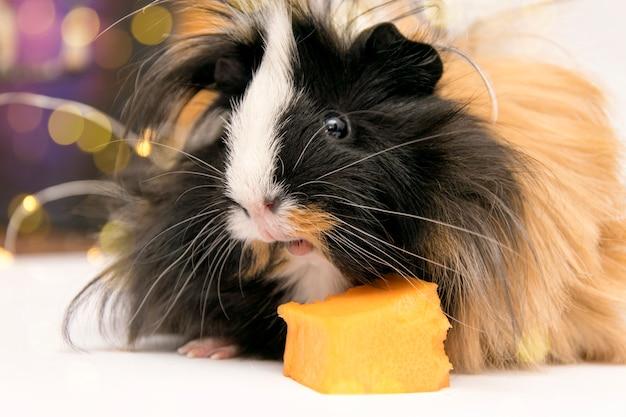 A fluffy spotted guinea pig eats a pumpkin.