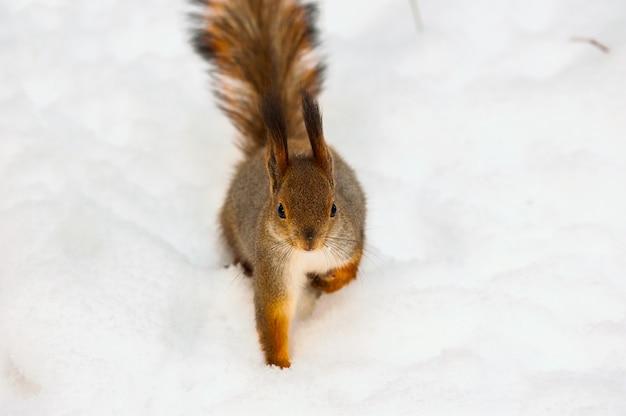 Пушистая белка бежит по белому снегу зимой