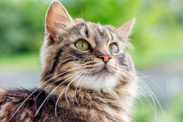 ぼやけた、肖像画のクローズアップでふわふわの縞模様の猫