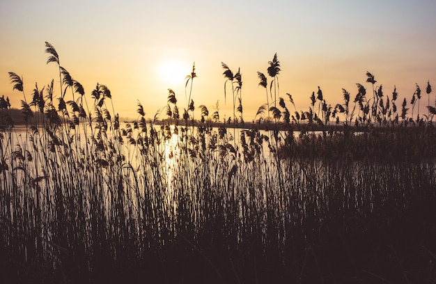 明るいオレンジ色の太陽が降り注ぐ葦のふわふわの茂み。明るい朝の夜明けの風景。