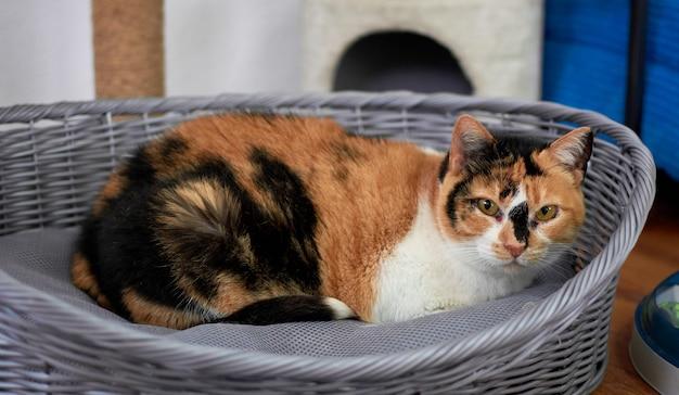 Пушистый трехцветный кот отдыхает на кровати для домашних животных