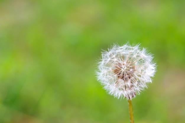 Fluffy white dandelion on green background.