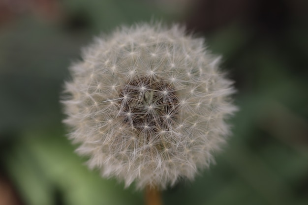 Fluffy white dandelion is preparing to plant seeds the beginning of sunny summer