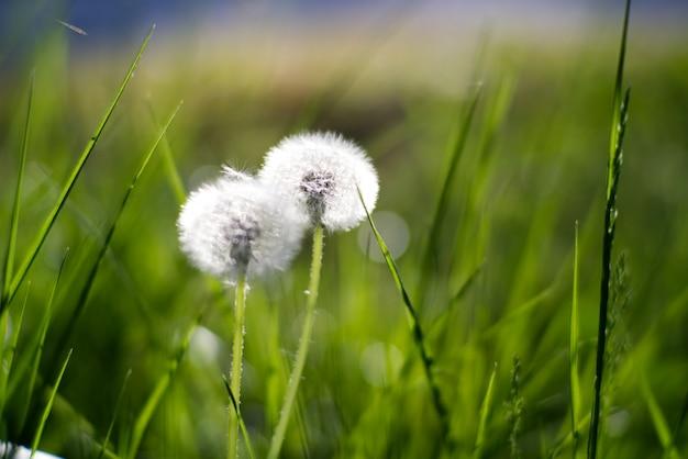 Fluffy white dandelions in grass background in the morning sunlight