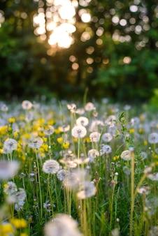Пушистые белые одуванчики в поле в свете летнего заката