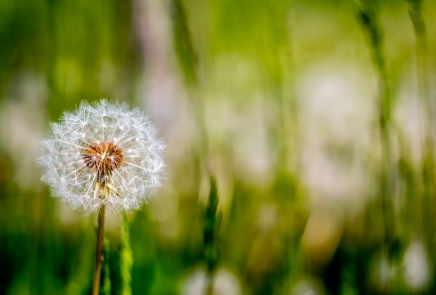 Fluffy white dandelions on a meadow