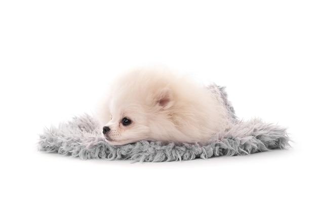 Пушистый белый щенок породы шпиц, лежа на ковре, изолированные на белом фоне