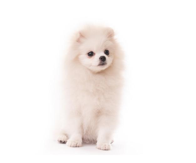 Пушистый белый щенок породы шпиц сидит на белом фоне