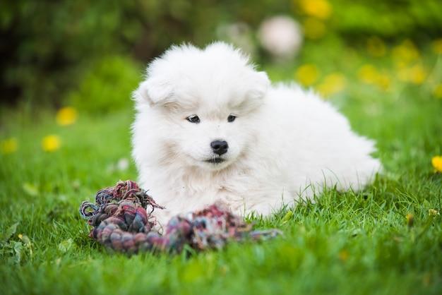 Пушистый белый щенок самоеда играет с игрушкой