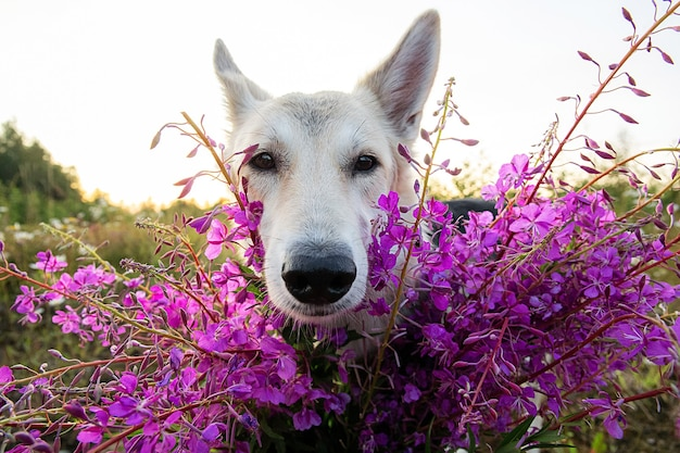 흐린 여름날 녹색 들판에서 쉬면서 생생한 신선한 꽃 근처에 서서 카메라를 바라보는 솜털 울프독