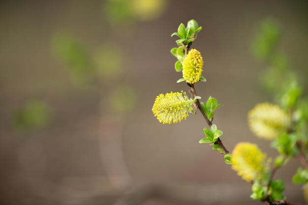 Fluffy yellow bud of willow tree with small green leaves in spring