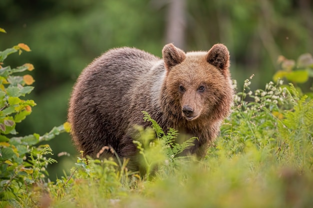 Fluffy young brown bear