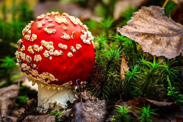 森の中のベニテングタケ(amanita muscaria)のキノコ。赤い帽子のキノコがクローズアップ。
