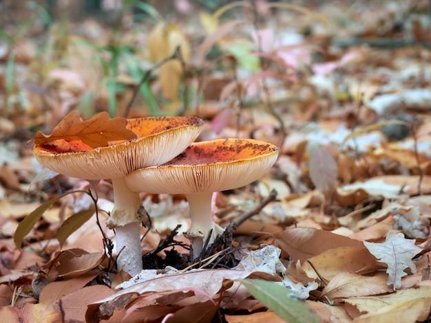 秋の森でベニテングタケ。