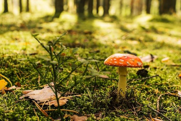 ベニテングタケまたはテングタケ属のムスカリア。野生の森の自然の中で有毒な食べられない毒キノコ