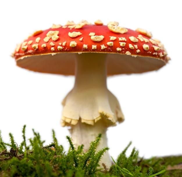 Мухомор или мухомор гриб, мухомор мухомор, ион белый изолированных