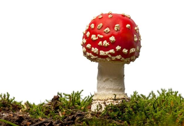 들 버섯 비행 또는 버섯 버섯, 버섯 muscaria, 이온 화이트 절연
