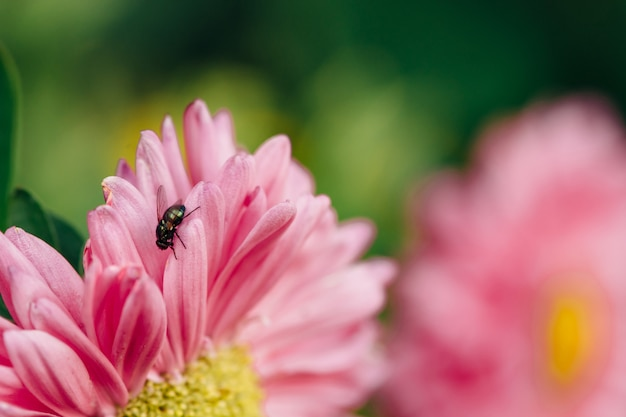 The fly crawls along the pink flower of the asters close-up.