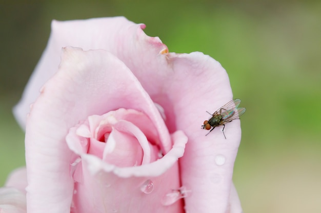 Fly on pink rose flower