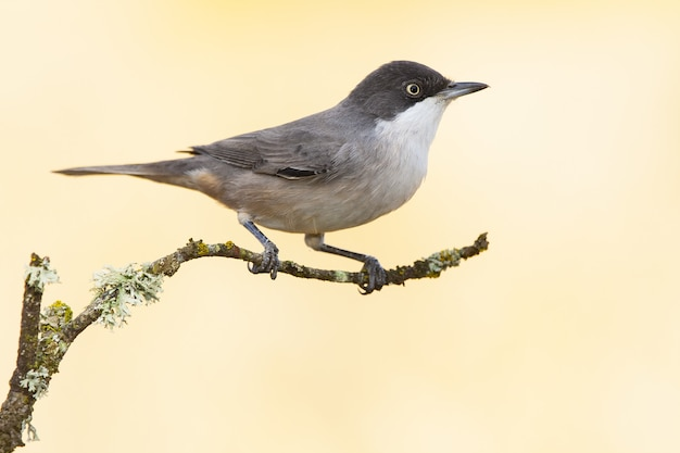 Птица-мухоловка сидит на ветке с размытым фоном
