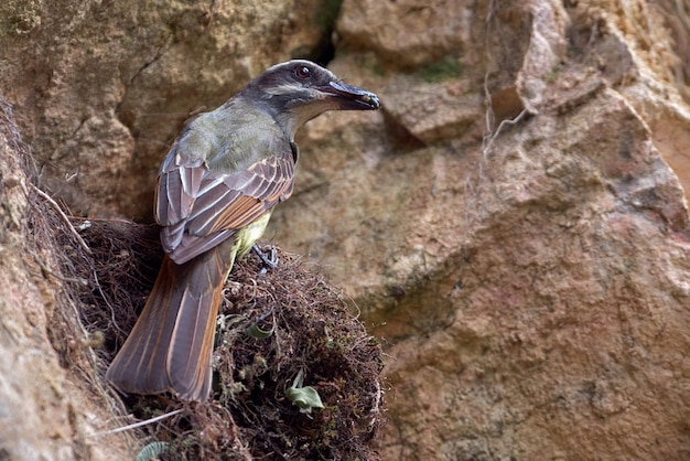 Flycatcher bringing food to its chicks in the nest