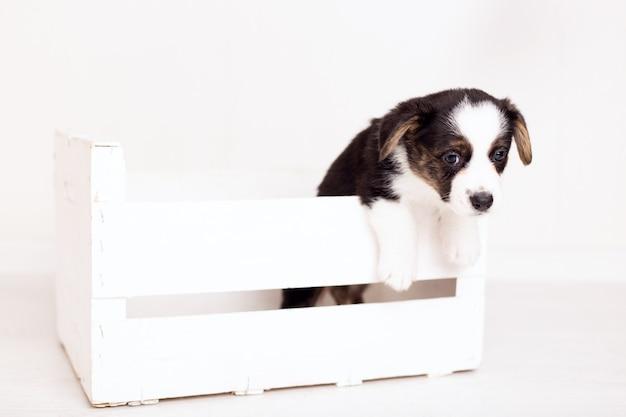 分離された木製の箱に新生児flyffyブラウンカーディガン子犬