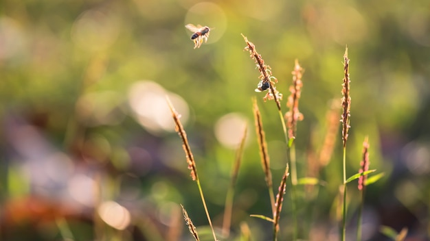 Летающие пчелы возле цветка травы в поле