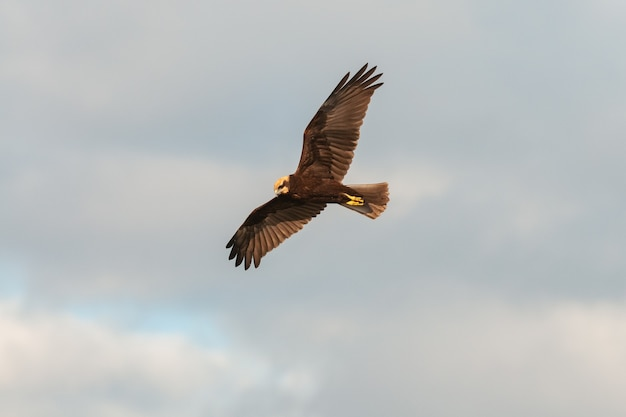Flying bird of prey. western marsh harrier. circus aeruginosus.
