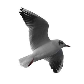 白い背景で隔離の飛んでいる鳥のカモメ