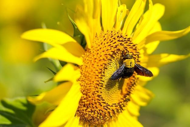 明るい空の日にひまわりに飛んで熊蜂蜜。