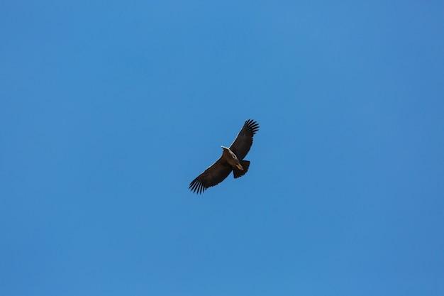 Flying condor in the colca canyon,peru