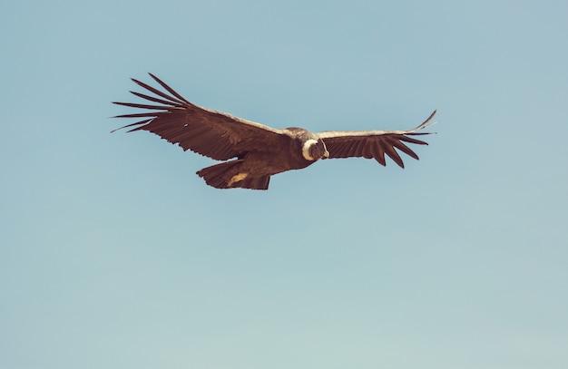 Летающий кондор в каньоне колка, перу