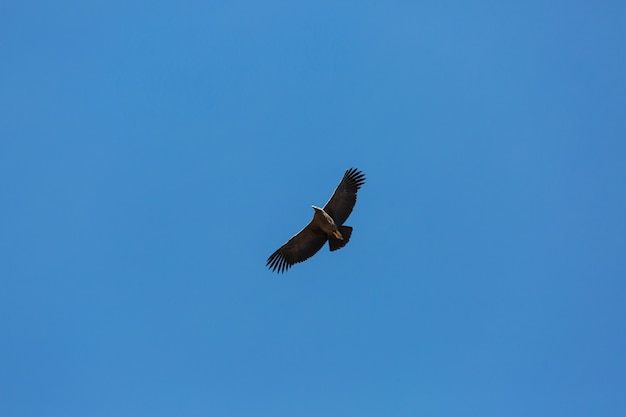 ペルー、コルカ峡谷の空飛ぶコンドル