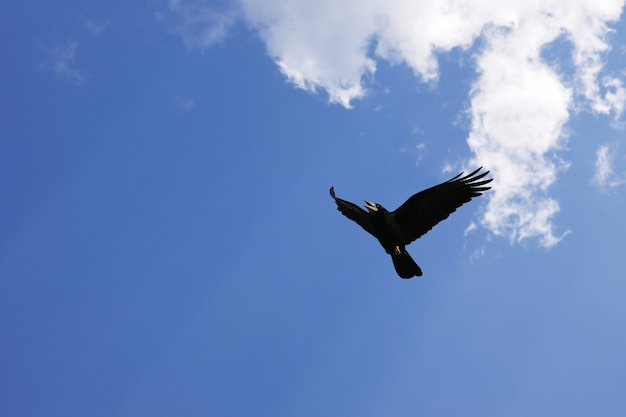 Flying crow against the blue sky with copy space