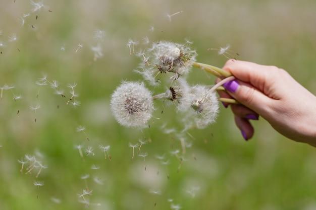 Flying dandelion down