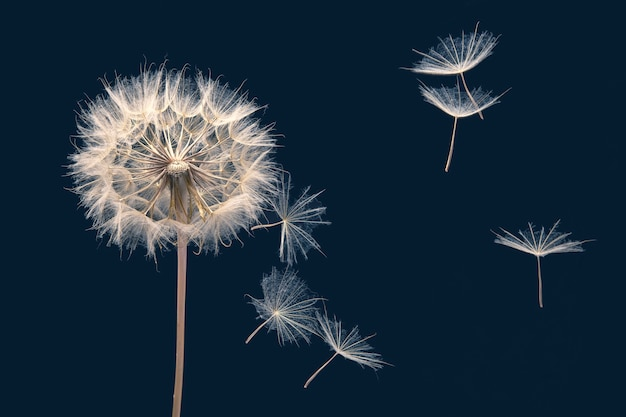 Flying dandelion seeds on dark blue background