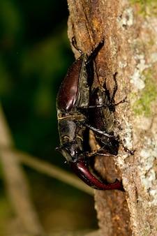 木の幹で飛んでいる鹿のカブトムシ