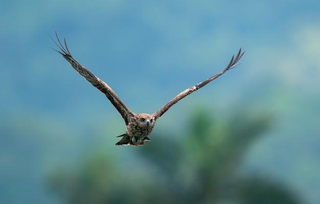 Flying eagle on blurred nature