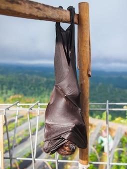 Flying fox bat sleeping upside down on branch