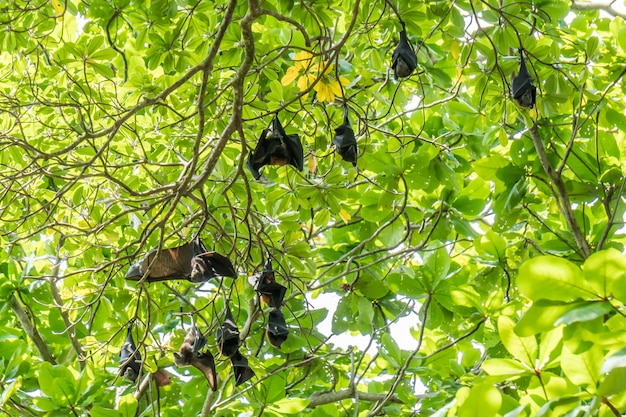 Flying foxes,the biggest bat on tree, can generally found at similan islands of thailand.