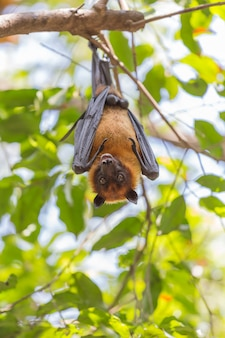 Flying foxes hanging on a tree