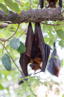 Flying foxes hanging on trees