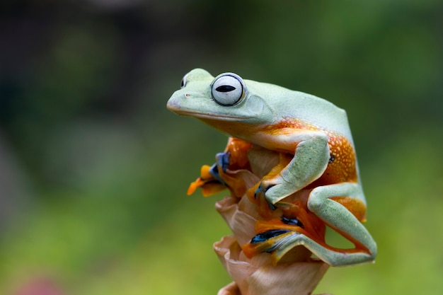 Flying frog closeup face on branch javan tree frog closeup image rhacophorus reinwartii