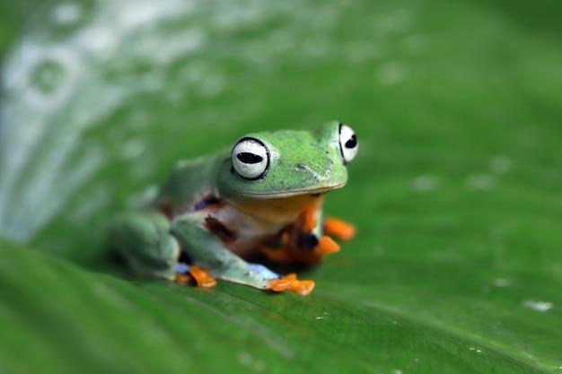 枝に飛んでいるカエルのクローズアップ顔ジャワの木のカエルのクローズアップ画像