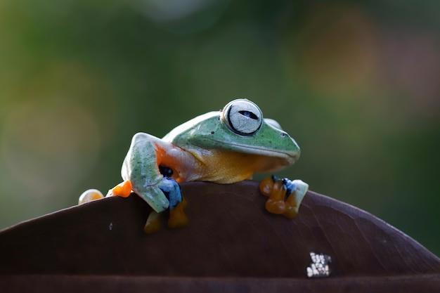마른 잎에 비행 개구리 근접 촬영 얼굴