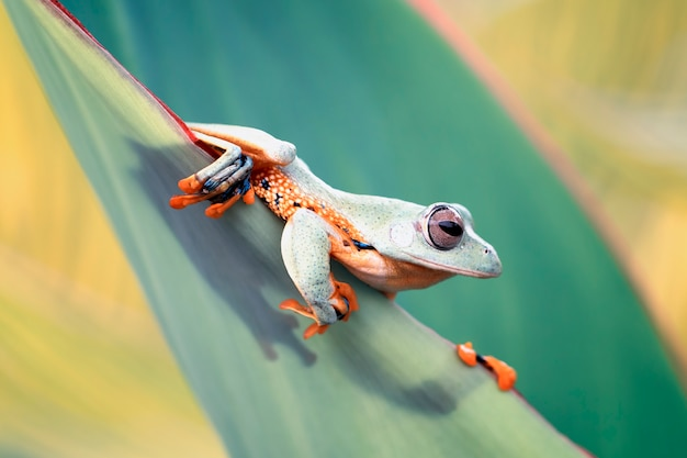 Flying frog on the green leaf