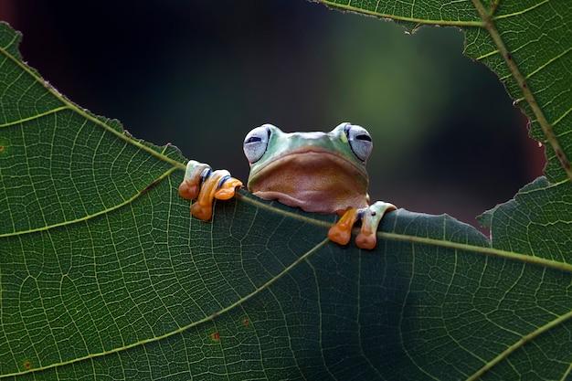 Летающая лягушка на зеленых листьях