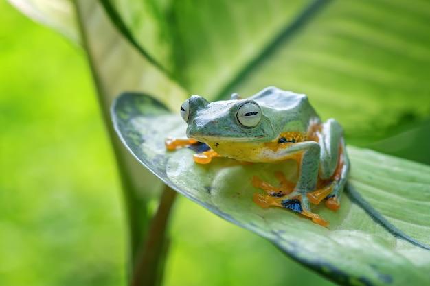 Летающая лягушка сидит на зеленых листьях