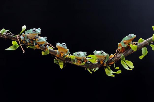 空飛ぶカエル、アマガエル、カエル、ダンピーフロッグ、